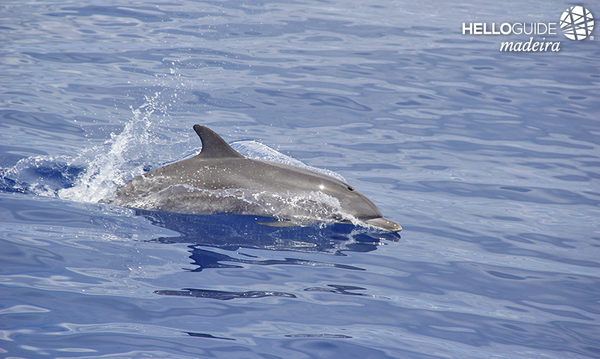 Dolphins in Madeira Island