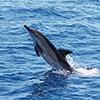 thumb 01 observacao cetaceos madeira